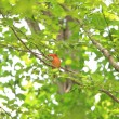 Ruddy Kingfisher (Halcyon coromanda) in Japan — Stock Photo