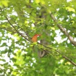 Ruddy Kingfisher (Halcyon coromanda) in Japan — Foto de Stock