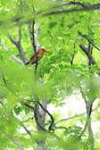 Ruddy Kingfisher (Halcyon coromanda) in Japan — Stock Photo