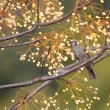 Brown-eared Bulbul (Microscelis amaurotis) in Japan — Stock Photo