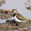Northern Lapwing (Vanellus vanellus) in Japan — Stock Photo