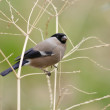 Eurasian Bullfinch (Pyrrhula pyrrhula) female in Japan — Stock Photo