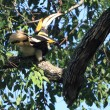 Great hornbill — Stock Photo #33167235