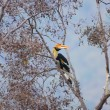 Great hornbill — Stock Photo #33167247