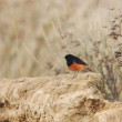 Black redstart (phoenicurus ochruros) — Stock Photo