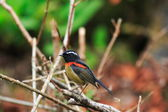 Gekraagde bush robin (tarsiger johnstoniae) in taiwan — Stockfoto