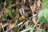 White-browed Bush Robin (Tarsiger indicus) in Taiwan — Stock fotografie