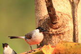 Sooty-headed Bulbul (Pycnonotus aurigaster) in Thailand — Stock Photo