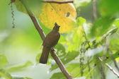 黄色这儿鹎 (鹎 urostictus) 在菲律宾棉兰老岛 — 图库照片