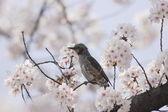 Brown-eared Bulbul (Microscelis amaurotis) in Japan — Stock Photo