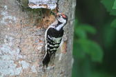 Lesser Spotted Woodpecker (Dendrocopos minor) in Japan — Stock Photo