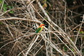 Chestnut-headed Bee-eater — Foto Stock