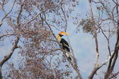 Great hornbill — Stock Photo