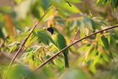 Golden-fronted Leafbird (Chloropsis aurifrons) in Thailand — Stock Photo