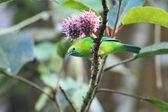 Blue winged Leafbird — Stock Photo