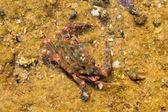 Blue-spined swimming crab Thalamita prymna in Japan — Stock fotografie