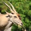 Eland (Taurotragus oryx) — Stock Photo