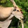 Stock Photo: Eland (Taurotragus oryx)