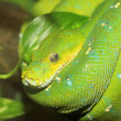 Green Boa or Green tree python  Morelia viridis  in North Australia — Stock Photo