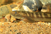 Monk goby (Sicyopterus japonicus) in Japan — Stock Photo