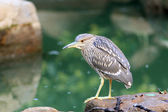 Black-crowned night heron (Nycticorax nycticorax) in Japan — Stock Photo