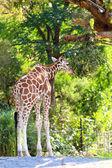 Giraffe (Giraffa camelopardalis) — Stock Photo