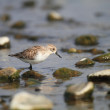 Spoon-billed sandpiper (Eurynorhynchus pygmeus) in Japan — Stock Photo