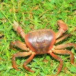 Terrestrial crab (Cardisoma carnifex) in Iriomote Island,Japan — Stock Photo