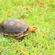 Yellow-margined box turtle (Cuora flavomarginata evelynae) in Iriomote Island,Japan — Stock Photo