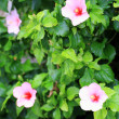 Hibiscus rosa-sinensis in Japan — Stock Photo