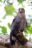 Ryukyu crested aquila serpentaria (spilornis cheela) in giappone — Foto Stock