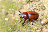 Japanese brown stag beetle (Neolucanus insularis) in Japan — Stock Photo