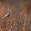 White-browed Tit (Poecile superciliosus, formerly Parus superciliosus) in North China — Stock Photo