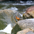 Torrent Duck (Merganetta armata) in Ecuador — Stock Photo