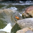 Stock Photo: Torrent Duck (Merganettarmata) in Ecuador