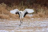 Japanese crane (Grus Japonensis) in Hokkaido,Japan — Zdjęcie stockowe