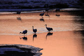 Japanese crane (Grus Japonensis) early morning in Hokkaido,Japan — ストック写真