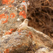 White-rumped Snowfinch (Montifringilla taczanowskii) in Qinghai,China — Stock Photo
