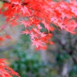 Japanese maple in Japan — Stock Photo
