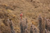 Pylzoff's Roze-Bunting or Przewalski's Rosefinch (Urocynchramus pyizowi ) in Qinghai,China — Stock Photo