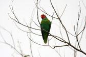 Red-cheeked Parrot (Geoffroyus geoffroyi) in Halmahera Island,Indonesia — Stock Photo