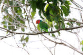Red-cheeked Parrot (Geoffroyus geoffroyi) in Halmahera Island,Indonesia — Stock Photo