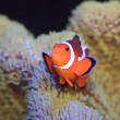 Stock Photo: Ocellaris clownfish or Common clownfish or False perculclownfish (Amphiprion ocellaris) in Japan