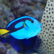 Stock Photo: Blue tang or Regal tang or Palette surgeonfish (Paracanthurus hepatus) in Japan