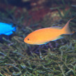 Stock Photo: Flame fairly bassle or Redfin anthias (Pseudanthias dispar)