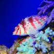 Dwarf hawkfish (Cirrhitichthys falco) in Japan — Stock Photo