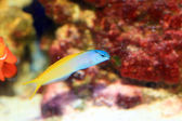 Yellowtail Fang Blenny or Forktail blenny (Meiacanthus atrodorsalis) in Japan — Stock Photo