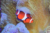 Ocellaris clownfish or Common clownfish or False percula clownfish (Amphiprion ocellaris) in Japan — Stock Photo