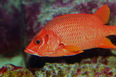 Sabre squirrelfish or Long-jawed squirrelfish (Sargocentron spiniferum) — Stok fotoğraf