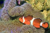 Ocellaris clownfish or Common clownfish or False percula clownfish (Amphiprion ocellaris) in Japan — Stok fotoğraf